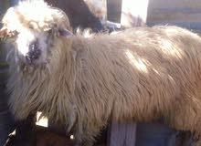 خروف روماني