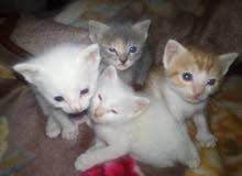 اربع قطط اناثي عمر شهر ونصف كلعم عيونهم زرق
