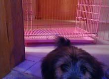 كلب تيريري