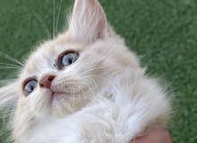 قطه شقرا جميله للبيع مع التوصيل