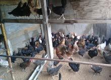دجاج عربي في حدود 80 طرف يدحو و امورهم تمام للبيع بطرف او جمله طرابلس سوق الجمعة 0917819914