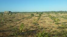 امتلك مزرعه 10 أفدنه مانجو كيت ونعومى عمر سنتين تسقى مياه بحرى بالإسماعيلية