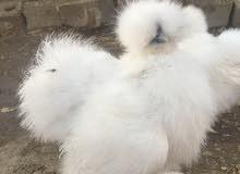 بيض دجاج قطني عظم خمس اصابع للبيع