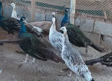 زوج طاووس