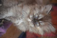 قطط للبيع لعوبات