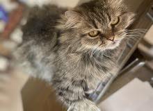 قطه شرازية للبيع