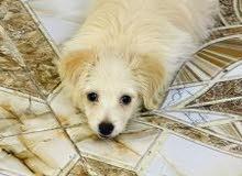 كلبه لولو عمر شهرين
