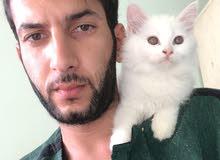 قطه اسمه شحيمه عمرها شهرين نثيه