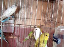 طيور استرالى للبيع بغرض التصفية