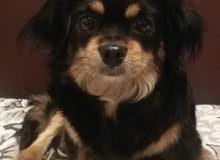 كلب شيواوا مهجن مع ملحقاتة اقر الوصف اضغط علصورة