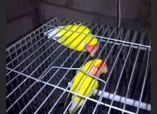 طيور روز للبيع او البدل على ككتيل مع فراخه