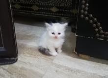 قطة أنثى صغيرة