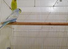 زوج طيور حب هولندي منتج