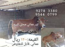 ثور عماني للبيع .. محلي..تربيه منزليه ..