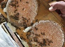 وادى الذيد لانتاج العسل سدر وسمر اماراتى