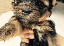 للبيع كلاب ميني اجمل انواع الكلاب