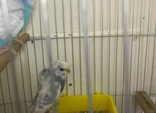 عصافير فلل