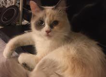 قطط اناث شيرازيات منتجة الاسعار تبدأ من 300 درهم فقط