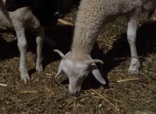 يوجد خروفات للبيع نوعية ممتازة بثمن مناسب جدا للجادين فقط باقية