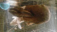 ارانب عمانيه
