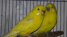 للبيع زوج طيور حب انكليزي  يعون سود بسعر 80 اقره