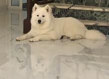 samoyed dog for sale