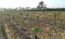 تعلن شركة جولدن ايرث لتقسيم و استصلاح الاراضي الزراعية, لراغبي الاستصلاح الزراعي ارض 50 فدان