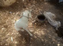 كلبة صيد للبيع او للبدل..لواء الكوره