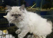قطة هيمالايا انثى بلوبوينت