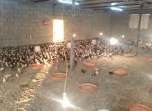 دجاج عماني عمر شهر