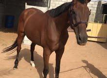 حصان انجليزي ممتاز بصحه ممتازه حق العرضه