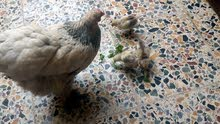 دجاجة براهما مع 3 كلاكيت عمر اسبوعين