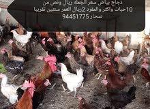 دجاج بياض بسعر خيالي ريال ونص فقط صحار شناص لوى صحم خابورة سويق