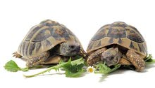 LAND TORTOISES;السلاحف البرية