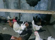 دجاج بياض عمانيات للبيع