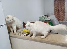 بيع قط شيرازي persan ذكر عمره 4أشهر في سوسة