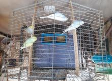 سلاكةة اماراتية وطيور الزينة