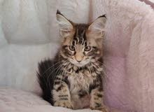 Mainecoon Male Kittens