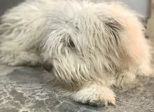 كلب  تيرير فحل