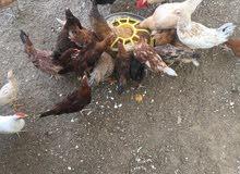دجاج بلدي حجم كبير بياض وصغير