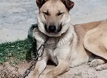 كلب مجنس ( ولف / عربي )