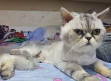 male Persian chinchilla half picky face