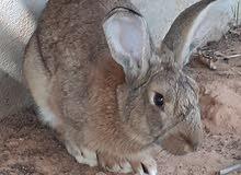 ارنب ذكر زراعي