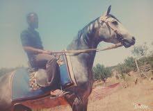حصان أزرق للبيع