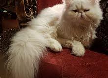 قطه فارسي للبيع