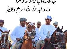 أرغب بشراء حصان عربي للعرضة من 5 إلى 8 سنوات