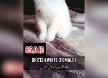 قطط للبيع انثى بريتيش وذكر رشن بلو وانثى هملايا وذكر هملايا الاسعار مرفقة بالصور