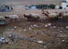 13 نعجه بلدي لحم بصلاة على النبي 8 اعشار