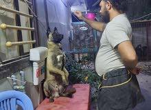 مدرب كلاب محترف في تدريب الكلاب حاصل على شهاده