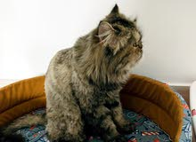 قطه شيرازيه (بيكي فيس)
